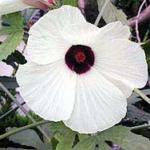 ハイビスカスのような花